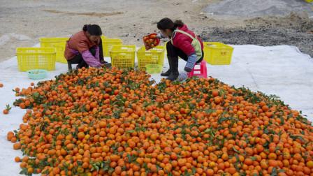 临近春节消费旺季,砂糖桔行情却一路走低,果农如何能安心过年?