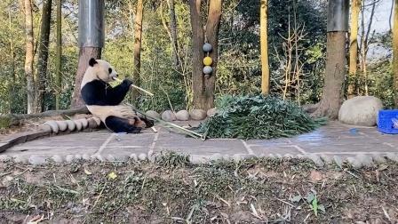 【大熊猫贝贝】帅气贝贝在线吃播