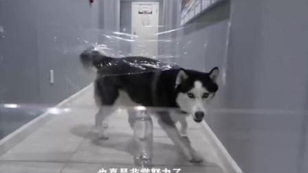 萌宠:狗子太蠢萌了,被主人拿胶带设置障碍,接下来就有意思了