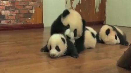 大熊猫宝宝巡场,开始还威风凛凛,结果被一只小不点怒吼,颜面尽失