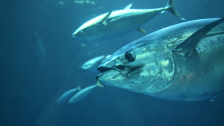 日本人爱吃金枪鱼!寿司大亨豪掷2亿日元,买下超200公斤鱼王