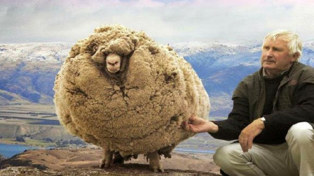 """国外剃羊毛比赛,羊还没反应,""""羊毛""""就没了,羊:刚才发生了啥"""