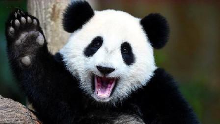 """史上第一只被国外""""退货""""的大熊猫,原因让人笑喷,网友:不愧是国宝"""