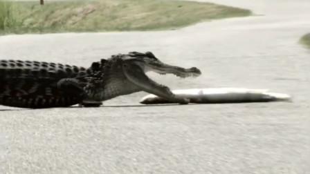 鳄鱼饥不择食,一口咬中电鳗,结果会怎样呢?