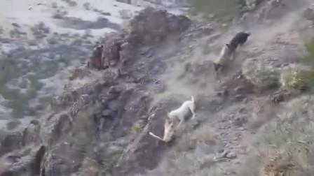 猎犬捕猎美洲狮,场面激烈,结果纷纷坠崖