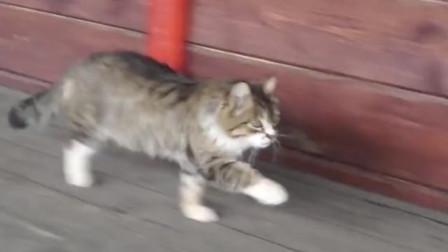 猫咪军训归来,走出了六亲不认的步伐,家里有矿的都这样
