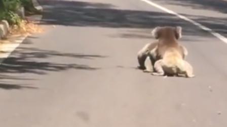 """两只""""国宝""""在马路上打架,场面看十分激烈,镜头记录搞笑全程"""