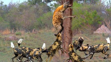 落单鬣狗被野狗围攻,野狗精准掏肛,鬣狗被活活分食