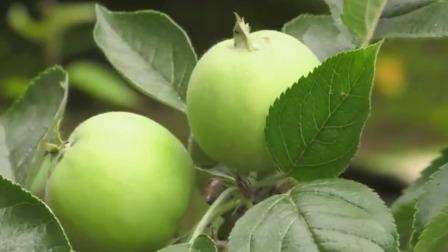 辽宁新闻 2020 盆栽苹果成了摇钱树