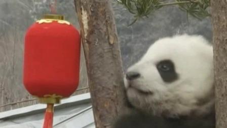 四川:20只大熊猫宝宝集体亮相拜年 超级新闻场 20200118 超清版
