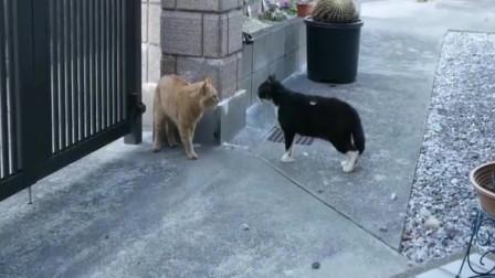 橘猫打架得先谈判,出手太快,没等看明白呢都打完了