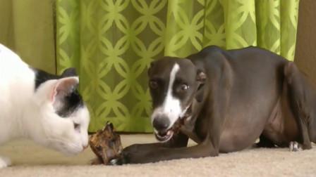 """猫咪跟狗子抢骨头吃,看猫咪吃的这么香,狗子气得直""""跺脚"""""""