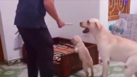 小拉布拉多咬坏了东西,主人拿棍子揍它,狗爸爸的反应太暖心了