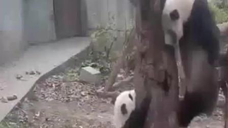 熊猫宝宝爬树上摔下来,幸好饲养员接到,熊猫宝宝委屈的不行