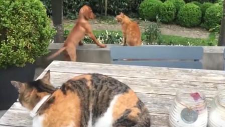 猫咪看到自家狗子被打,气势汹汹跑上去干架,镜头拍下全过程