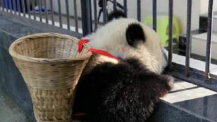 全球唯一不属于中国的大熊猫,再也不能回到祖国,原因让人心疼