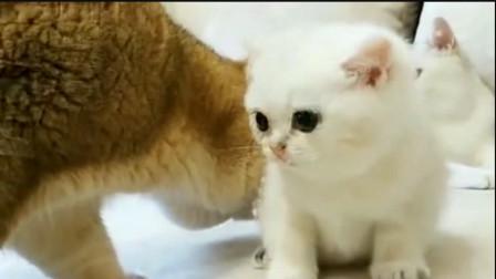 猫咪第一次见到自己孩子,稀罕得不行,小奶猫害怕的表情太逗