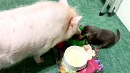 主人给宠物猪喂食,小水獭看到了也来抢着吃,真是个小吃货