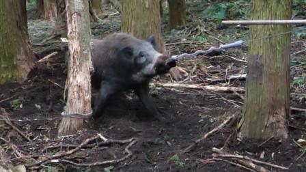 陷阱中的野猪,被一根小小的弹簧锁住鼻子,怎么也不能挣脱!