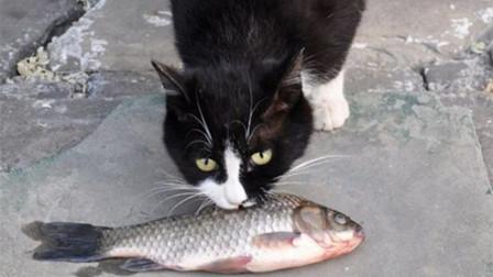 为什么猫吃鱼,不怕被鱼刺卡住?说出来你可能不信
