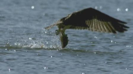 鱼鹰从高空俯冲而下抓到一条大鱼,眼光实在是太敏锐了