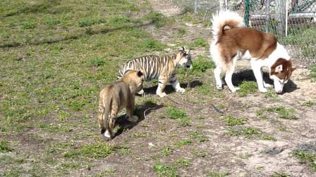 把哈士奇和老虎放在一起,结果让人哭笑不得,这是谁带谁?