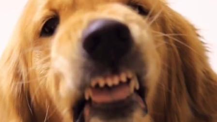 一只必须走完程序才肯剪指甲的金毛犬,这狗一看就是平时没少挨揍