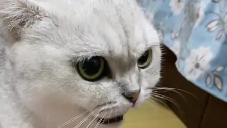 主人把小猫拿给猫咪看,猫咪瞬间急眼了,这猫到底怎么了?