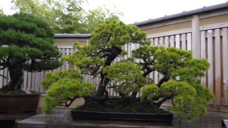 太惊艳的松树盆景,枝干蜿蜒婀娜,松针尖细翠绿,造型精美很养眼