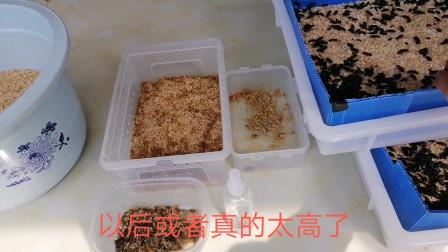 面包虫家庭饲养繁殖(大家爬宠,家禽,鸟宠  小哺乳动物有福了)