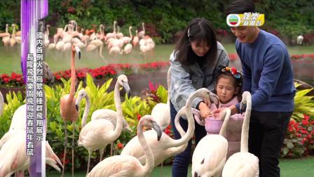 國內首例火烈鳥繁殖種群飛翔展示 長隆飛鳥樂園飛鳥迎春鼠年看鼠