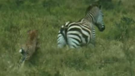 猎豹追逐斑马太近被斑马后蹄踢伤