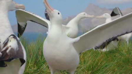 信天翁地球上最大最能飞的鸟类,最感人的是它们对爱情忠贞不二