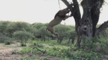 雄狮身体悬空撕咬挂在树杈上的肉,它在偷取猎豹储存的食物