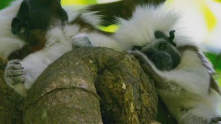 绒顶柽柳猴一头蓬松的白色长发,南美洲的濒危保护动物