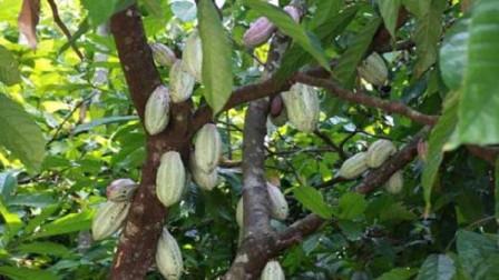 """世界上最毒的植物,轻松致人死地,被称为""""死亡之树"""""""