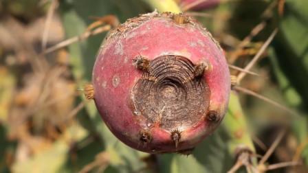 仙人掌也会结果实,吃起来酸酸甜甜的,看上去宛如小型火龙果