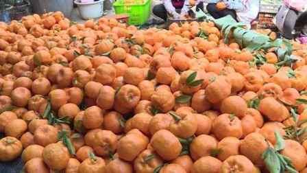 """味甜色亮的冬季柑橘,成村民""""致富果"""",一吨可卖5000元"""