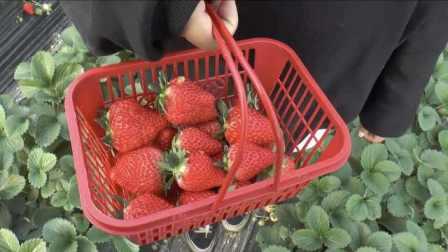 个大超甜!曾因洪水亏损10万,他仍坚持种出最甜脆草莓