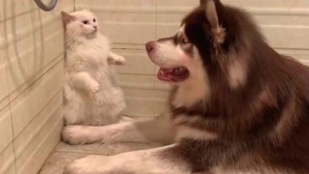 和猫一起长大的阿拉斯加,感觉越来越傻了!