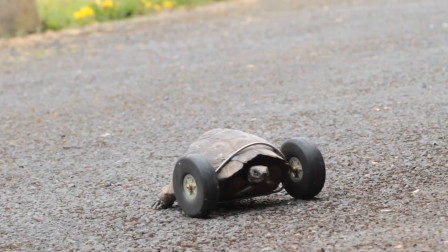乌龟冬眠被老鼠吃掉两条腿,换成轮子后,这速度兔子看了都害怕!