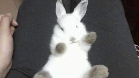 把兔子四脚朝天翻过来,它会立马睡着,镜头拍下全过程