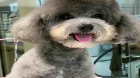 萌宠:泰迪灰崽乖巧的样子真讨人喜欢,好可爱的小泰迪,萌萌哒