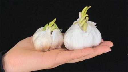 你家有发芽的大蒜吗?这用途花钱也不好买,我也刚知道,回家试试