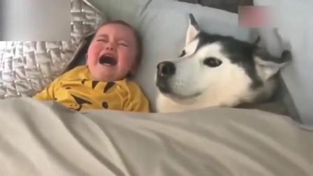 当二哈遇上熊孩子,完全没脾气了!