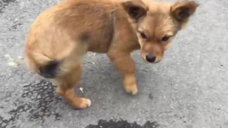 这是一条圆滑机智的狗子,见人就摇尾巴,是因为吃百家饭长大的原因吗