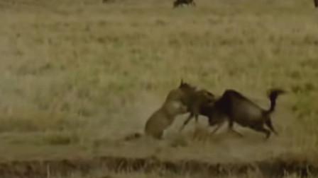 猎豹捕捉小角马却被成年角马重击倒地逃走