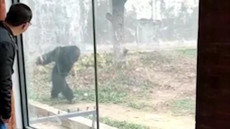 顽皮黑猩猩抡石头砸游客 游客被吓到尖叫