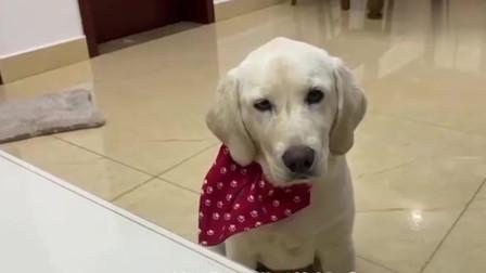 狗狗用水泼主人,当主人正要向狗狗发火时,狗狗机智应对躲过一劫