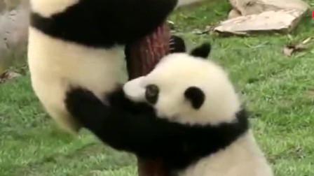 熊猫:忽略体型,爬树速度是真的快啊!